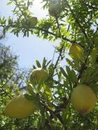 argan-fruit-green1.jpg