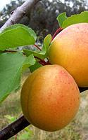 abrikosu.jpg