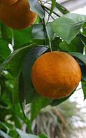 apelsinas.jpg