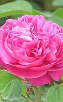 roze.jpg
